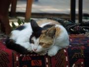 cat-161459_640